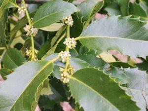 Ilex castaneifolia