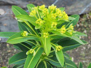 Euphorbia stygiana