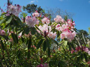 Rhododendron 'Loderi Pink Topaz'