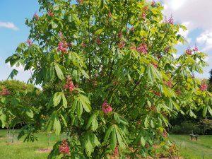 Aesculus bushii