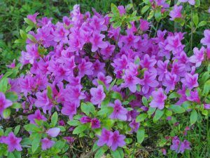 Wilson 50 clump of azaleas