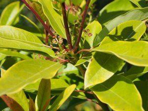 Daphniphyllum oldhamii