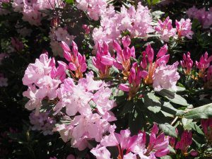unnamed rhododendron hybrid