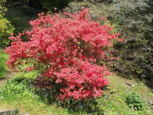 unnamed red evergreen azalea