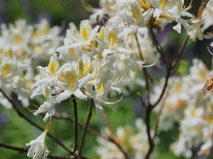 white deciduous azalea with a yellow throat