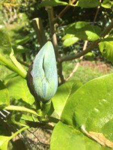 magnolia labelled acuminata multiflower subcordata