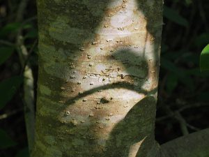 Manglietia Chingii