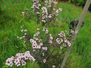 leptospermum (unnamed)