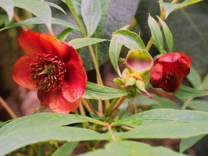 self-sown seedling of Paeonia delavayi