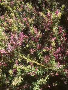 Podocarpus 'Orangeade'