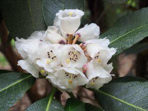 Rhododendron falconeri