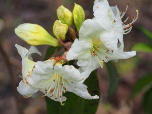 Rhododendron zaleucum