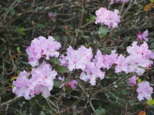 Rhododendron 'Tessa'