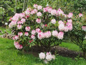 "Rhododendron ""Lem's Monarch"""