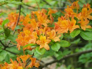 Rhododendron flammeum or Rhododendron bakeri hybrids