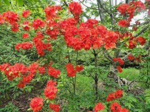 Azalea 'Hotspur Red'