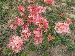 Azalea 'Rose de Flandre'
