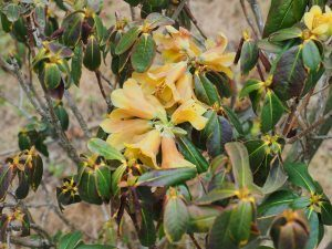 Rhododendron cinnarbarinum Concatenans Group