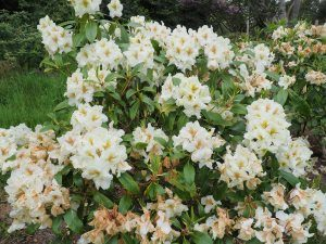 Rhododendron 'Lady Montagu'