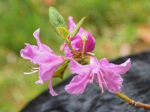 Rhododendron concinnum Pseudoyanthimum Group