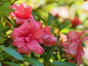 Azalea indica 'Balsaminaeflorum'