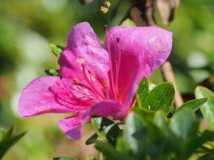 Azalea indica 'Macrantha Pink'