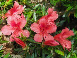 Azalea indica 'Macrantha'
