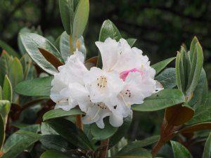 Rhododendron bureavei