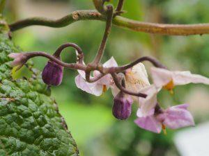 Cyphomandra corymbiflora