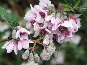 Deutzia longifolia
