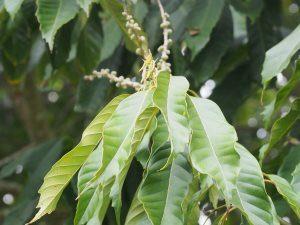 Lithocarpus kawakamii