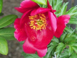 Paeonia 'Nippon Beauty'