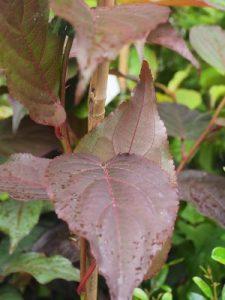Stachyurus praecox 'Devon Purple'