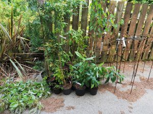 plants delivered back to Caerhays