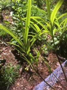Pittosporum illicioides angustifolium