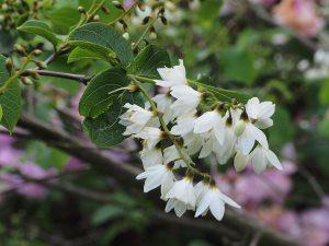 Styrax hemsleyanus