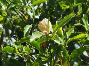 Magnolia virginiana 'Satellite'