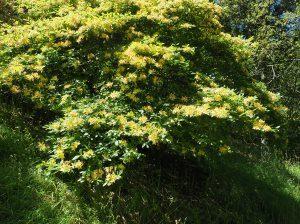 deciduous azaleas