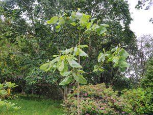 Magnolia dealbata