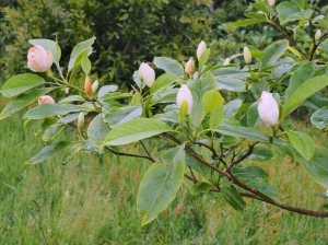 Magnolia sieboldii sinensis x virginiana
