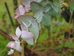 Eucalyptus crenulata