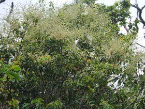Lithocarpus hancei