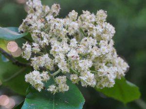 Photinia glomerata