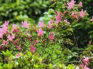 Azalea indica varieties