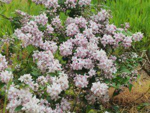 Deutzia x elegantissima 'Rosealind'