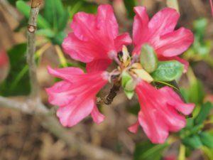 Rhododendron 'Biskra'
