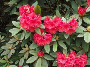 Rhododendron 'Tally Hoo'