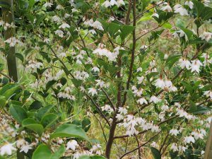 Styrax japonicus 'Farges Belle'