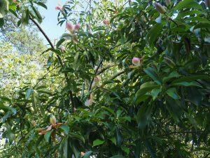 Magnolia floribunda var. tonkinensis