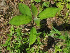 Hydrangea aspera villosa